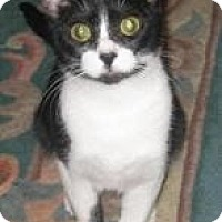 Domestic Shorthair Cat for adoption in Cleveland, Ohio - Pixy