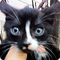 Adopt A Pet :: Spike - Santa Monica, CA