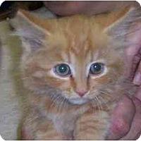 Adopt A Pet :: Taz - Arlington, VA