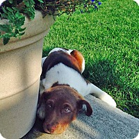 Adopt A Pet :: Laverne - Seattle, WA