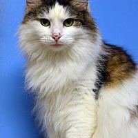 Domestic Longhair Cat for adoption in Atlanta, Georgia - Estess 14184