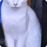Domestic Shorthair Cat for adoption in Bowling Green, Virginia - Rosenthal