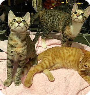 Domestic Shorthair Kitten for adoption in Metairie, Louisiana - Adorable Kittens