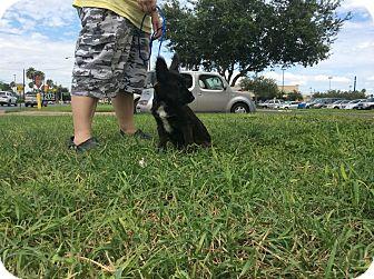Terrier (Unknown Type, Medium)/German Shepherd Dog Mix Puppy for adoption in Brownsville, Texas - Ziggy