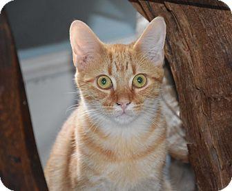 Domestic Shorthair Kitten for adoption in Bristol, Connecticut - Benny
