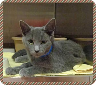 Domestic Shorthair Kitten for adoption in Marietta, Georgia - LEOPOLD