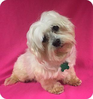 Maltese Mix Dog for adoption in La Verne, California - Gina