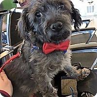 Adopt A Pet :: Mojo - Brooklyn, NY