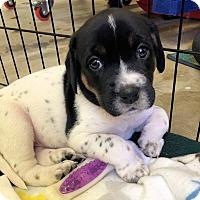 Adopt A Pet :: Daenerys Stormborn - Atlanta, GA