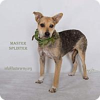 Adopt A Pet :: Master Splinter - Riverside, CA
