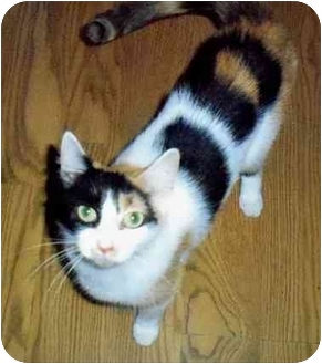 Calico Cat for adoption in Odenton, Maryland - Mindy
