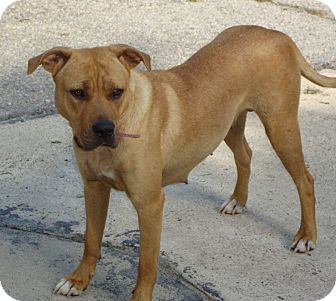 American Pit Bull Terrier Mix Dog for adoption in Daleville, Alabama - Bell