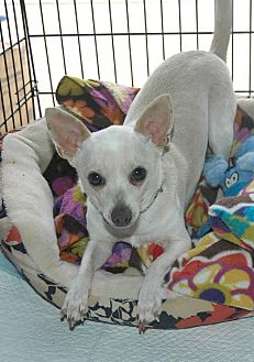 Chihuahua/Chihuahua Mix Dog for adoption in Santa Clarita, California - EZZY