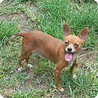 Adopt A Pet :: Adam - Ormond Beach, FL
