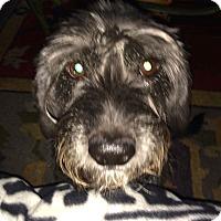 Adopt A Pet :: Bentley~~ADOPTION PENDING - Sharonville, OH