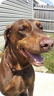 Doberman Pinscher Dog for adoption in Columbus, Ohio - Wags