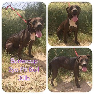 Pit Bull Terrier Mix Dog for adoption in DeForest, Wisconsin - Buttercup