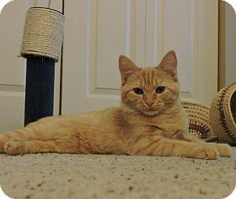Domestic Shorthair Kitten for adoption in Cincinnati, Ohio - Mac