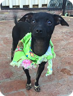 Italian Greyhound/Miniature Pinscher Mix Puppy for adoption in Santa Ana, California - Pandora (BH)