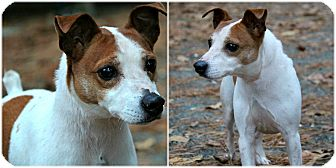 Jack Russell Terrier Dog for adoption in Forked River, New Jersey - Coco