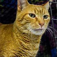 Adopt A Pet :: Milo - Pittsburg, KS