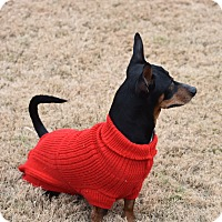 Miniature Pinscher/Dachshund Mix Dog for adoption in Greenfield, Wisconsin - Gonzo