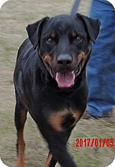Rottweiler Dog for adoption in Twinsburg, Ohio - Duke (90 lb) Loves His Human!