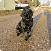 Adopt A Pet :: Ziva - Ogden, UT