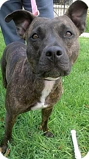 American Pit Bull Terrier Mix Dog for adoption in Los Banos, California - Olive