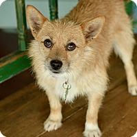 Adopt A Pet :: Chicken Nugget - San Antonio, TX