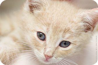 Domestic Shorthair Kitten for adoption in Houston, Texas - JOHNSTON