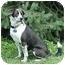 Photo 1 - Border Collie/Pug Mix Dog for adoption in Tiffin, Ohio - Chessie
