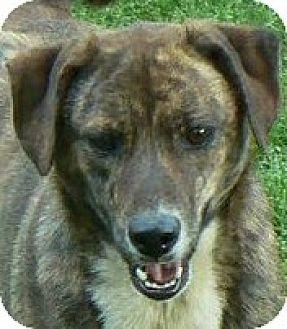 Shepherd (Unknown Type)/Labrador Retriever Mix Dog for adoption in Centerville, Tennessee - Brownie