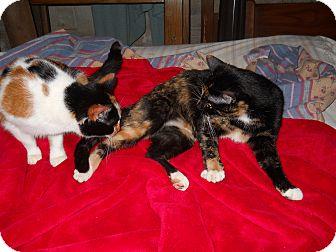 Calico Cat for adoption in Winder, Georgia - *Potchie