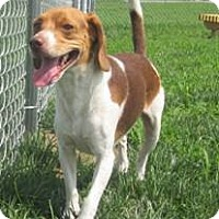 Adopt A Pet :: Pickle - Indianapolis, IN