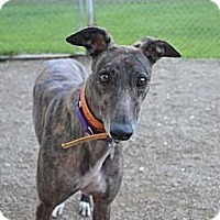 Adopt A Pet :: Jewel (Clever Carol) - Chagrin Falls, OH