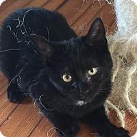 Domestic Shorthair Kitten for adoption in Massapequa, New York - Petey