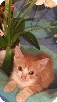 Domestic Shorthair Kitten for adoption in Brooklyn, New York - Prince Harry