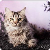 Adopt A Pet :: Goldie - Gilbert, AZ