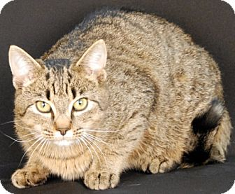Domestic Shorthair Cat for adoption in Newland, North Carolina - Lynx