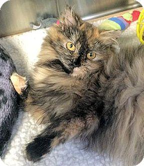 Persian Cat for adoption in Lunenburg, Massachusetts - Carlita