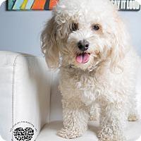 Adopt A Pet :: Chachi - Inglewood, CA