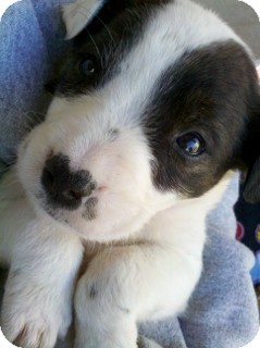 American Pit Bull Terrier/Boxer Mix Puppy for adoption in Litchfield Park, Arizona - Keeper - Only $95 adoption!