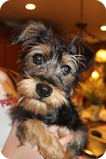 Yorkie, Yorkshire Terrier/Schnauzer (Standard) Mix Puppy for adoption in Wytheville, Virginia - Pepper Potts