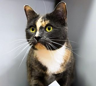 Calico Cat for adoption in Woodside, New York - Lacy