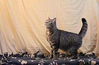 Domestic Shorthair Cat for adoption in Sebastian, Florida - Gabby
