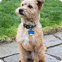 Adopt A Pet :: Sandee - North Bend, WA