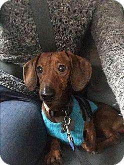 Dachshund Dog for adoption in Decatur, Georgia - Shane