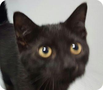 Domestic Shorthair Kitten for adoption in Hawk Point, Missouri - Jack