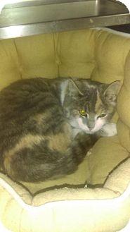 Domestic Mediumhair Cat for adoption in South Haven, Michigan - Joe